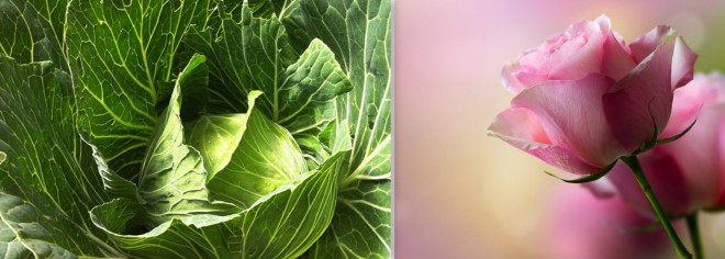 cabbage and rose 3686x1323