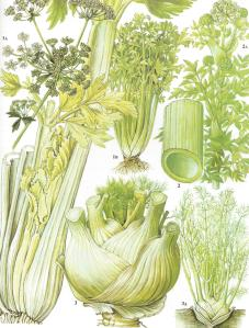 celery botanical drawing