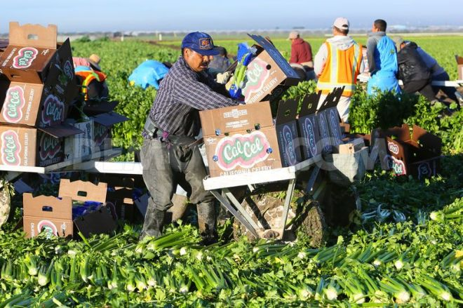 celery field workers