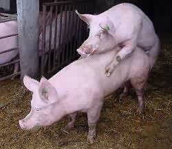 mating pigs